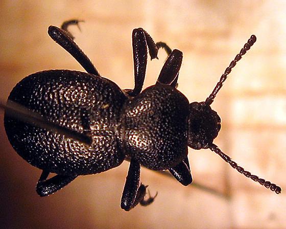 Eleodes -- darkling beetle, but what species? - Eleodes