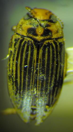 Stictotarsus spenceri Leech - Boreonectes spenceri