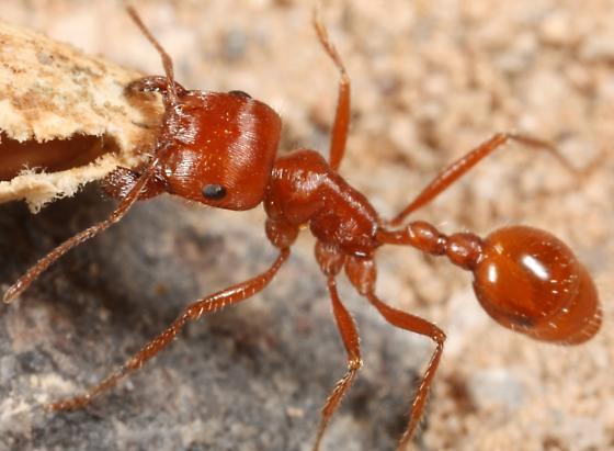 Bearded Harvester ant of some sort - Pogonomyrmex californicus