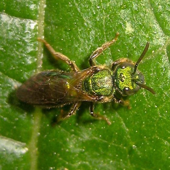 Bee - Augochlora pura