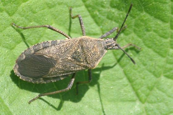 Squash bug with Tachinid egg? - Anasa tristis