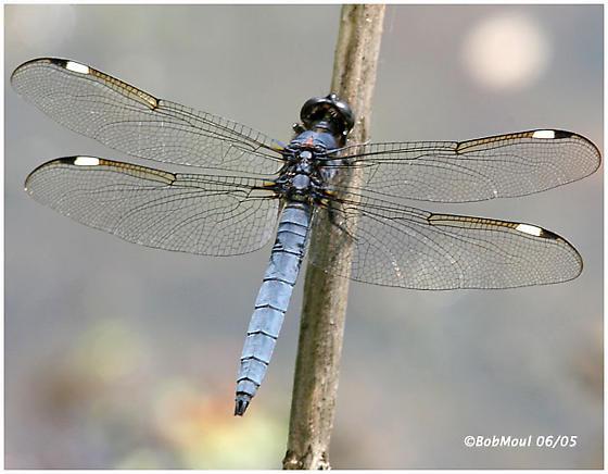 SpangledSkimmer - Libellula cyanea - male