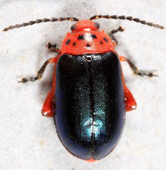 Flea Beetle - Kuschelina thoracica