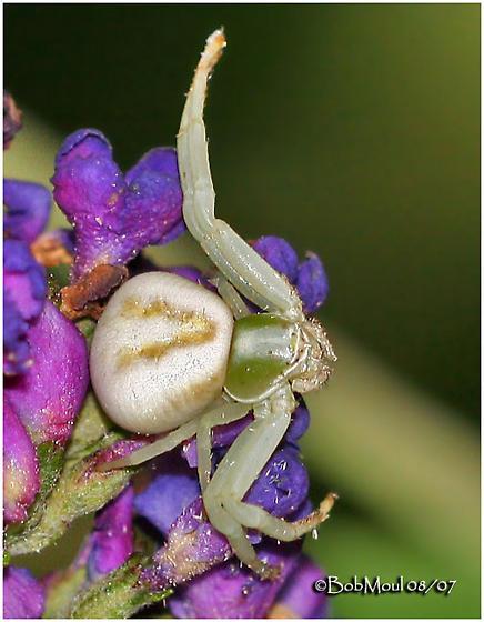 White-banded Crab Spider - Misumenoides formosipes