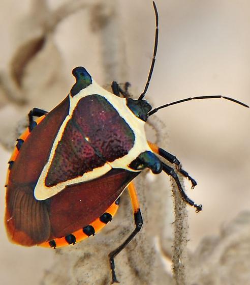predatory stink bug? - Ramosiana insignis