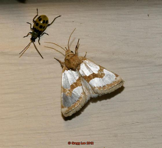 fur trimmed aluminum moth  - Schinia - Schinia chrysellus