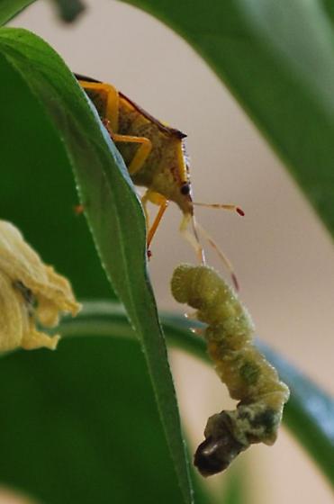 Stink bug? Superfamily Pentatomoidea - Conquistator mucronatus