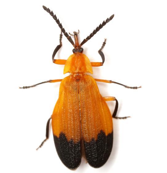 Lycus fernandezi Duges - Lycus fernandezi