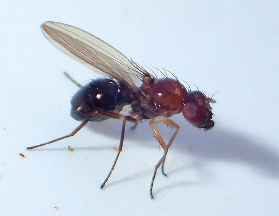 Orange-brown tephritoid-like fly with unmarked wings, blackish abdomen, and brown & white legs - Afrocamilla bispinosa