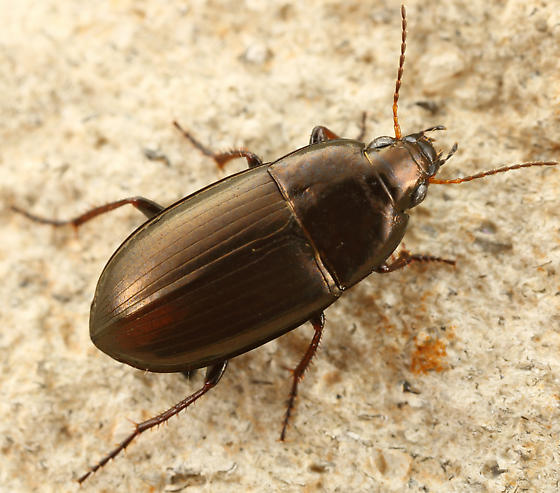 ground beetle - Amara