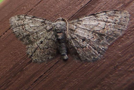 ID help, please - Glenoides texanaria - male