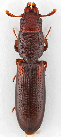 Bark-gnawing Beetle - Corticotomus depressus