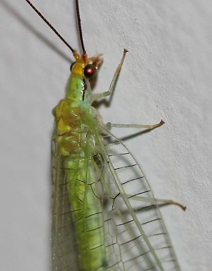 Leucochrysa pavida? - Leucochrysa pavida