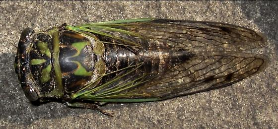 Dog-day Cicada - Neotibicen canicularis