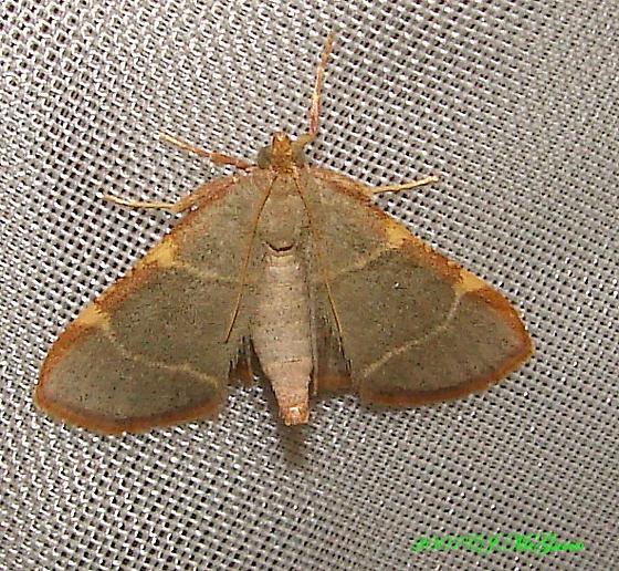 Dolichomia - Hypsopygia binodulalis