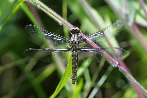 Common Whitetail, female - Plathemis lydia - female