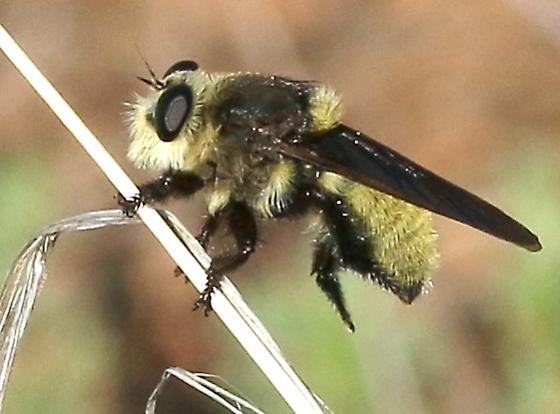 Robber Fly ? tan, fuzzy - Mallophora fautrix