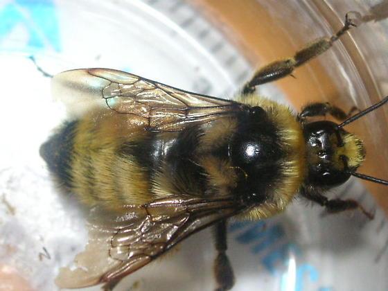 Bombus appositus (Apidae)  in Teller County, Colorado. - Bombus appositus - female