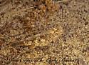 166634 - Spharagemon cristatum - male