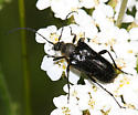 Flower Longhorn - Judolia montivagans