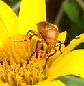 beetle on oxeye flower - Zonitis