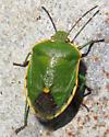 Conchuela Bug (Chlorochroa ligata) - Chlorochroa