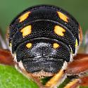 Resin bee - female Anthidiellum perplexum?  - Anthidiellum perplexum - female