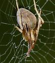 Orb Weaver - Acacesia hamata