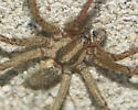 Agelenopsis pennsylvanica - Agelenopsis - male