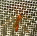 Rhopalosomatid wasp - Rhopalosoma nearcticum