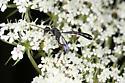 Wasp - Gasteruption - female