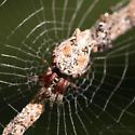 Trashline Spider - Cyclosa walckenaeri