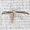 Belfrage's Plume Moth - Hodges #6154 - Pselnophorus belfragei