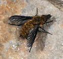 Conophorus sackenii - female