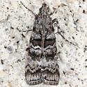 Unknown moth needs ID from Franklin-Parker Preserve - 5853 – Dioryctria amatella - ? - Dioryctria yatesi
