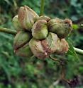 Grape Galls - Ampelomyia vitiscoryloides