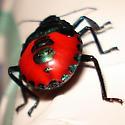 Florida Predatory Stink Bug (Euthyrhynchus floridanus) - Euthyrhynchus floridanus