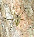 Large spider - Dolomedes albineus
