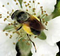 Bee Mimic - Blera umbratilis - female