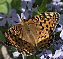 orange and black butterfly on phlox - Speyeria coronis