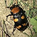 Nicrophorus americanus - female