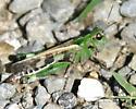 grasshopper, Slant-Faced Pasture ? - Encoptolophus costalis - female