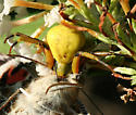 Flower Crab Spider with large Prey - Misumenoides formosipes - female