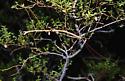 Creosote Walking Stick - Diapheromera covilleae - male