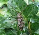 longhorned beetle. - Enaphalodes atomarius