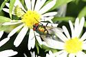 Fly - Lucilia sericata - male