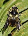 bumblebee mimic fly - Criorhina bubulcus