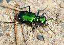 Barrens Tiger Beetle - Cicindela sexguttata