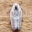 Antaeotricha