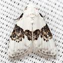 Sharp-blotched Nola Moth - Hodges #8989 - Nola pustulata